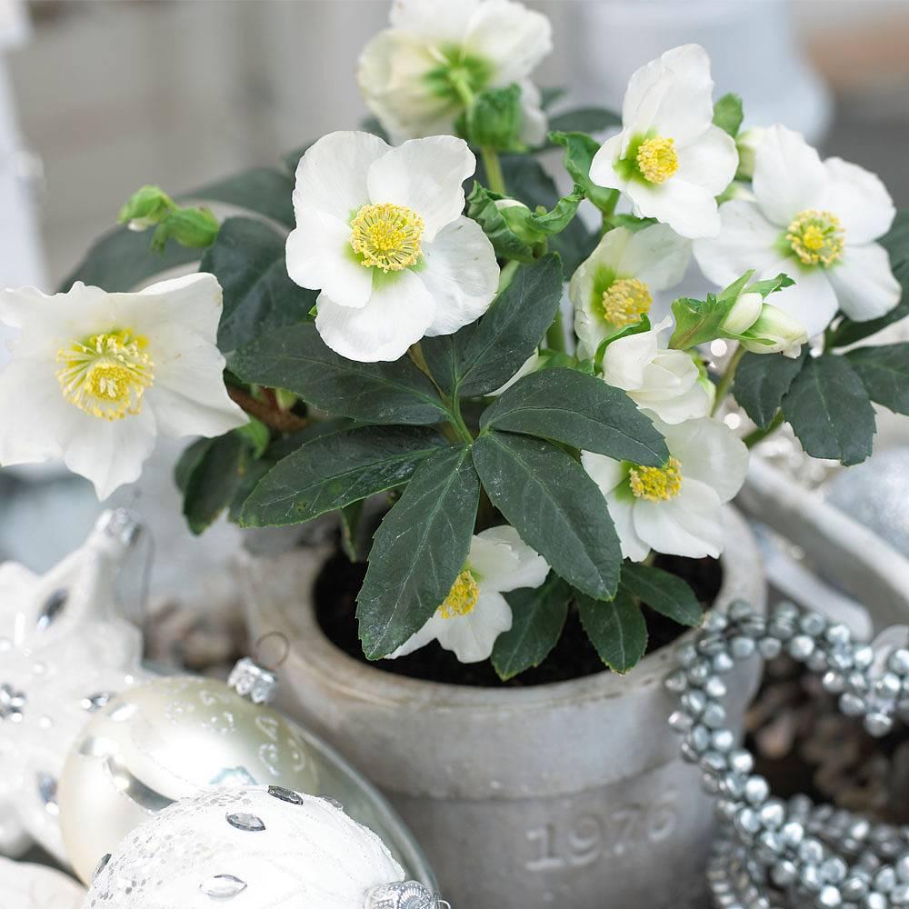 T&M Christmas rose flowering