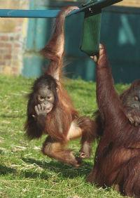 Orangutans at Twycross Zoo