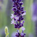 9 lavender plants bundle £7 all-in