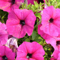 £9.50 for 60 garden-ready plants (norm £37)