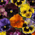 170 autumn flowering plug plants £9.99 delivered