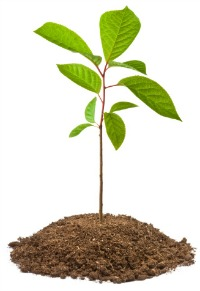 Tree sapling picture