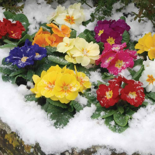 Example T&M winter bedding plants flowering